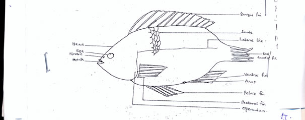 labelled diagram of a tilapia fish 2000 dodge stratus wiring label simple schema animal