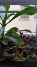 Nepenthes alata - Kannenpflanze