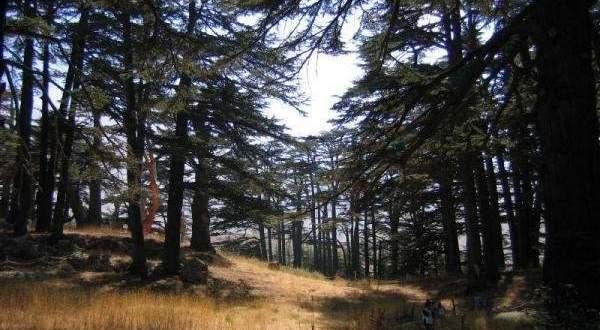كيف يؤثر التغيير المناخي على غابات الأرز في لبنان؟