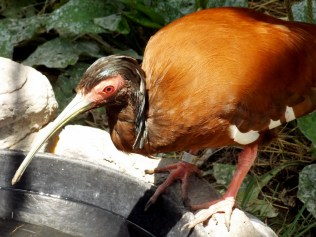 Madagascar Ibis, Henry Doorly Zoo, Omaha, NE.