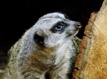Meerkat, Henry Doorly Zoo, Omaha, NE.
