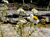 Flowers, Devonian Gorge, Corralville, IA