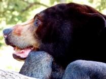 Sun Bear, Henry Doorly Zoo, Omaha, NE.