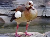 Egyptian Goose, Henry Doorly Zoo, Omaha, NE.