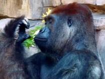 Mani-pedi - Lowland Gorilla, Henry Doorly Zoo, Omaha, NE.