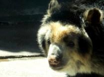Andean Bear, Henry Doorly Zoo, Omaha, NE.