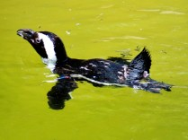 South-African Black-Footed Penguin, Henry Doorly Zoo, Omaha, NE.