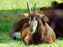 Antelope, Henry Doorly Zoo, Omaha, NE.