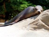 Lady Sea-Lion, Henry Doorly Zoo, Omaha, NE.