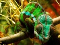 Panther Chameleon, Henry Doorly Zoo, Omaha, NE.