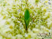 Grasshopper in young Queen Anne's lace.