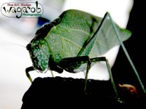 Grass-hopper/leaf-bug.