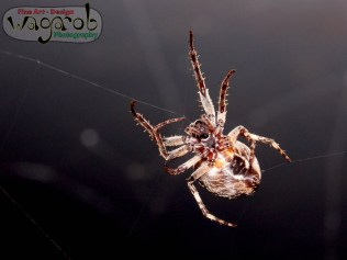 Araignée.