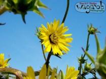 Fleur jaune.