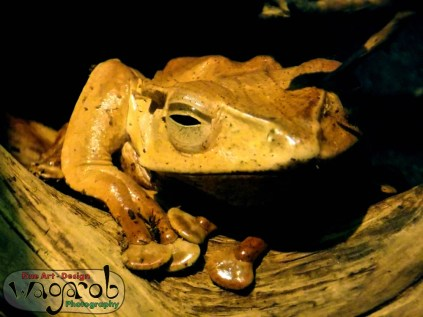 Brown tree-frog, Detroit Zoo, Copyright Robert Hartwig 2013