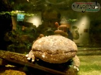Japanese Giant Salamander, Detroit Zoo, Copyright Robert Hartwig 2013