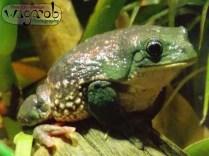 Budweiser Frog, Detroit Zoo, Copyright Robert Hartwig 2013