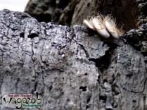 3-Toed Sloth, Detroit Zoo, Copyright Robert Hartwig 2013