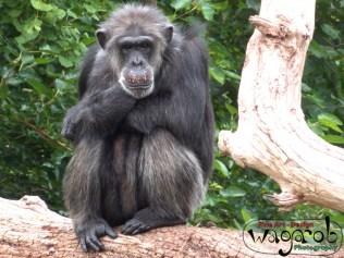 Chimpanzee, Detroit Zoo, Copyright Robert Hartwig 2013