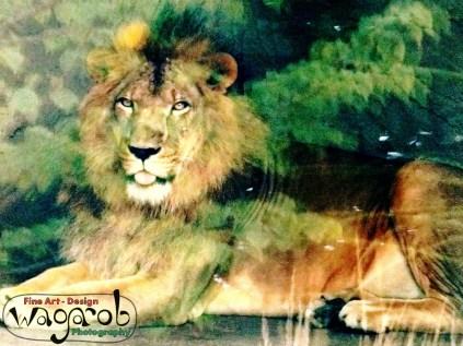 Gentle-man Lion, Detroit Zoo, Copyright Robert Hartwig 2013