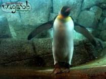 King Penguin, Detroit Zoo, Copyright Robert Hartwig 2013