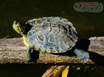 Painted Turtle in the Out-of-Doors. Detroit Zoo, Copyright Robert Hartwig 2013.