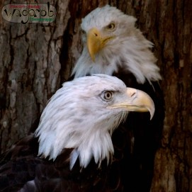 Two Bald Eagles. Detroit Zoo, Copyright Robert Hartwig 2013.