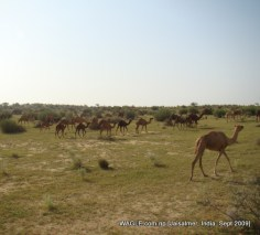 camel safari in jaisalmer india grazing field