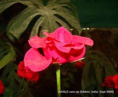 rose of gangtok