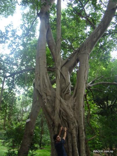 Twisted banyan Tree