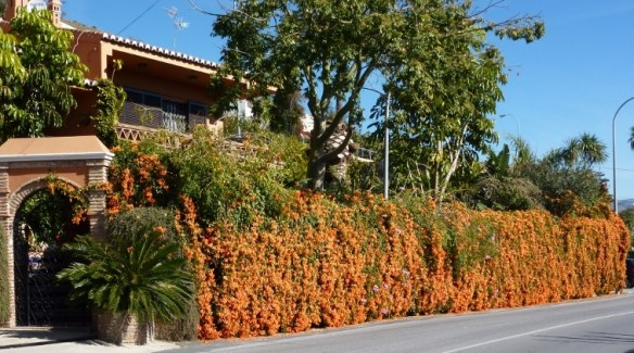 Walls of Orange - In Southern Spain the winter brings loads of color, especially the color orange. You will see these amazing orange flowers everywhere and oranges too.