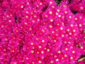 Magenta Spring Flowers