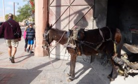 A working Donkey in Marrakech Medina