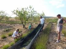 Granada Spain - Harvesting Lavendar
