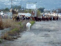 Motril Spain - Goats traveling alongside the main road