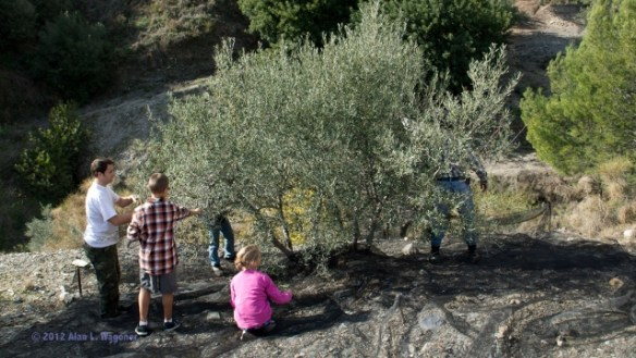 Connecting With Locals When You Travel Otivar Spain - Harvesting Olives in Dec 2012 with Fajardo Family