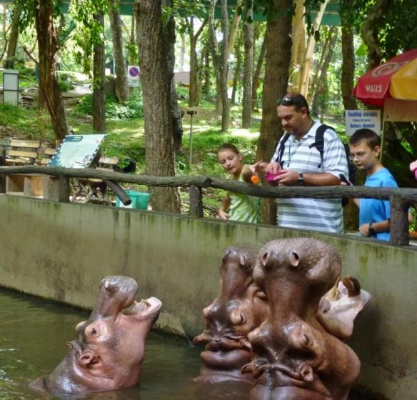 Feeding the Hungry Hungry Hippo - Chiang Mai Zoo and Aquarium