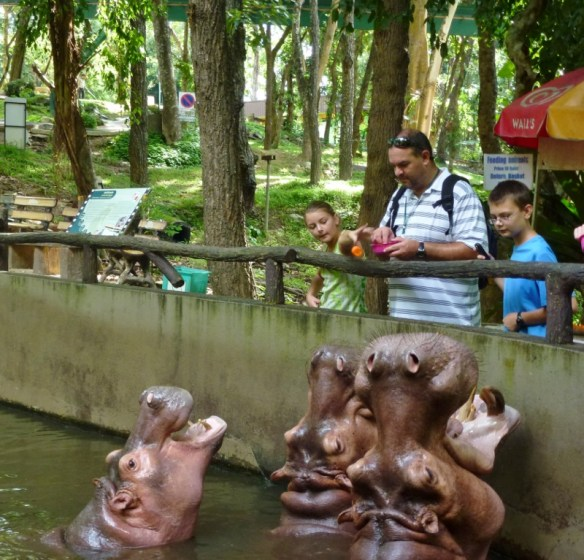 Feeding the Hungry Hungry Hippo - Chiang Mai Zoo and Aquarium