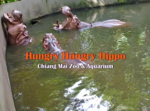 Hungry Hungry Hippo - Chiang Mai Zoo and Aquarium