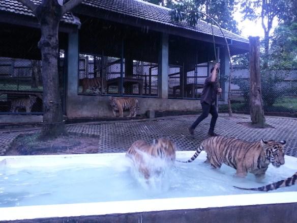 Tiger-jumping-at-Alan-into-pool-4