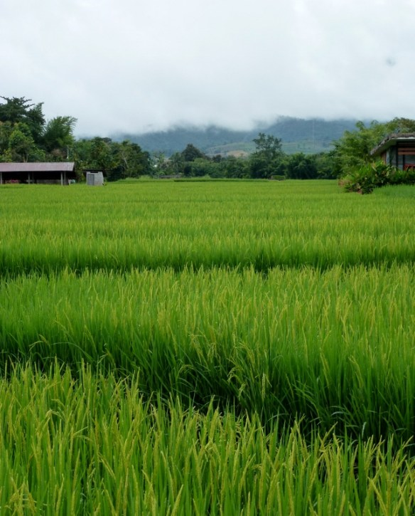 Pai Rice Paddy Fields