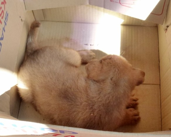 VIP puppy in a box