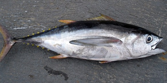Tuna -Atún