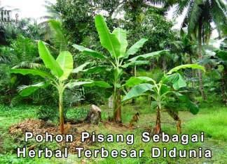Pohon Pisang Merupakan Tanaman Herbal Terbesar Didunia Min