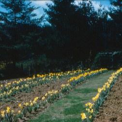 Daffodils in Old Garden