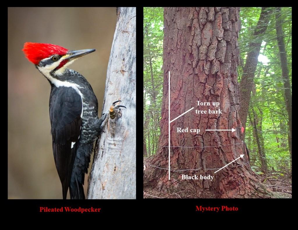 woodpecker info