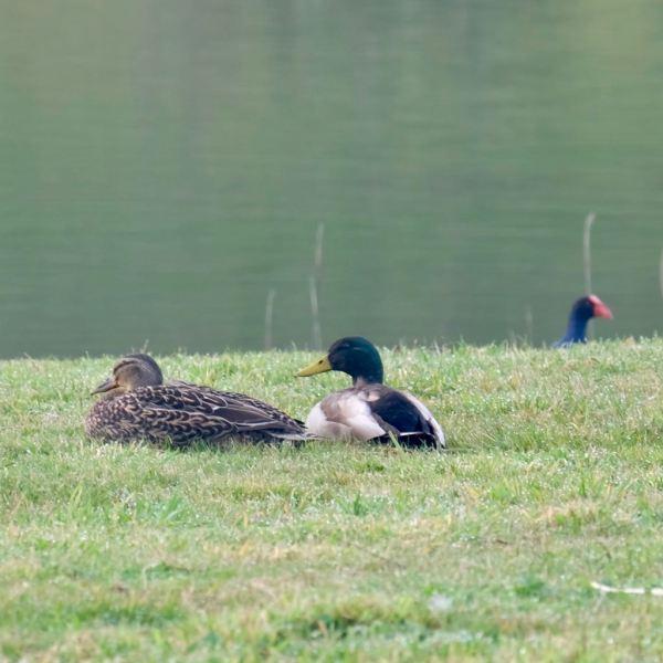 Mallard ducks and pukeko head.