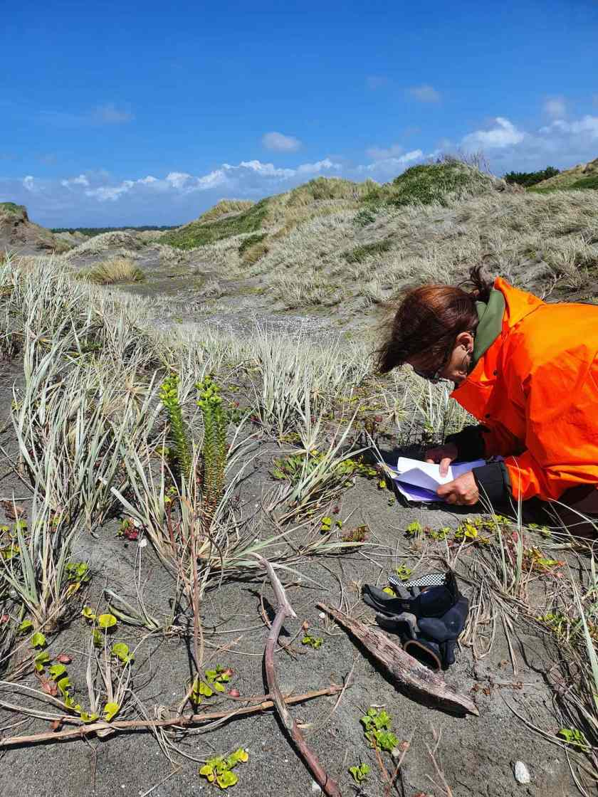 Person examining Sea Spurge plant in the dunes.