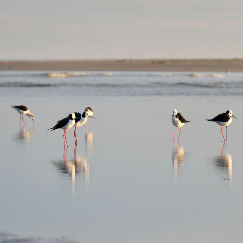 A group of long-legged black and white birds.