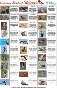 Common Birds of the Waikerie region and the Riverland ...